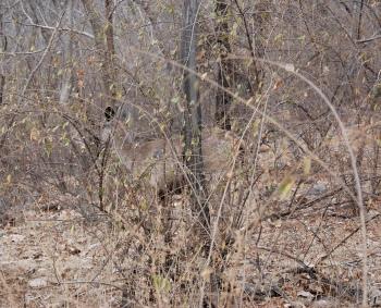 Sambhur deer hiding